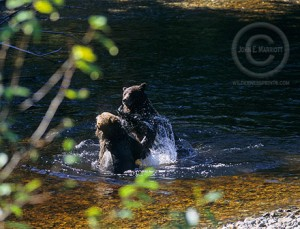 Grizzly bears play fighting in Banff National Park, Canadian Rockies.